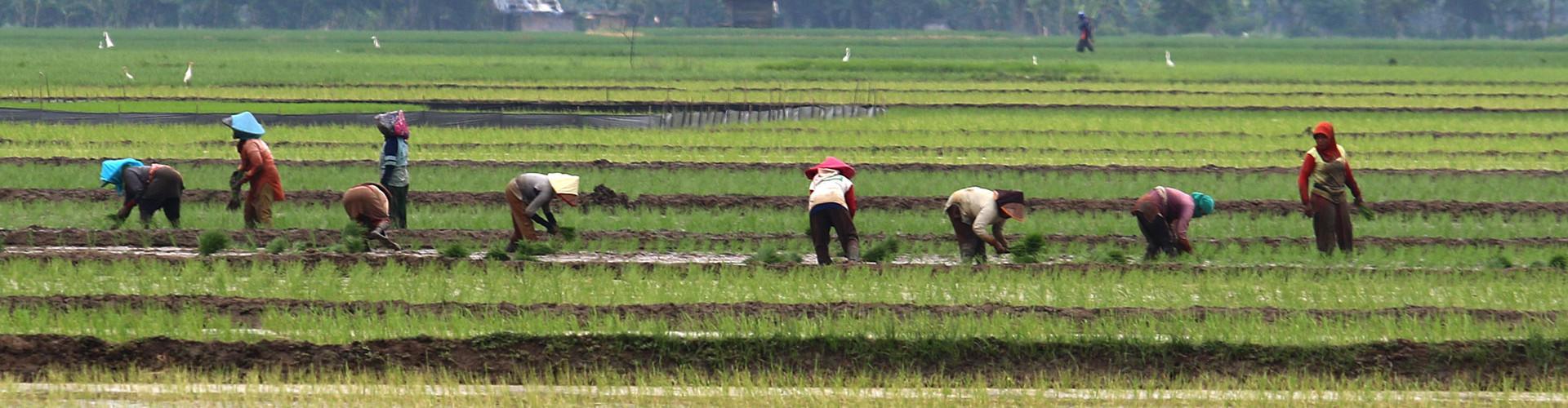 sawah dan petani
